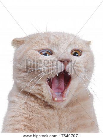 British Cat Isolated On White