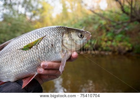 Big orfe fish in fisherman's hand