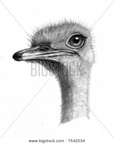 Pencil Drawing of Ostrich Head