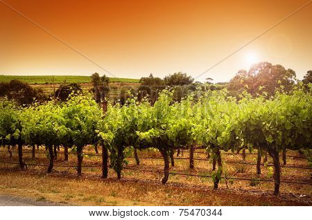 Rows Of Grapevines Taken At Australia's Prime Wine Growing Winery Area In Mclaren Vale, Fleurieu Pen