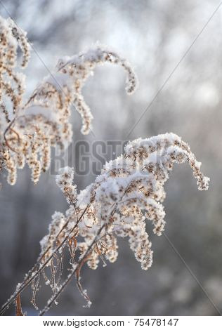 Dry Tall Grass Covered With Snow