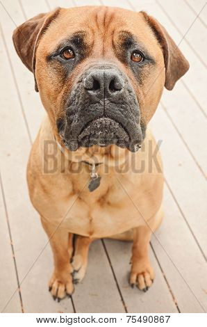 Sad Bull Mastiff Dog