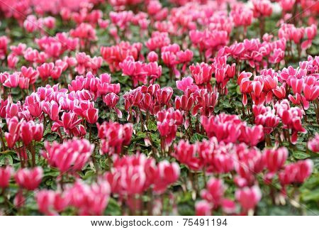 Background Of Colorful Pink Cyclamen Flowers