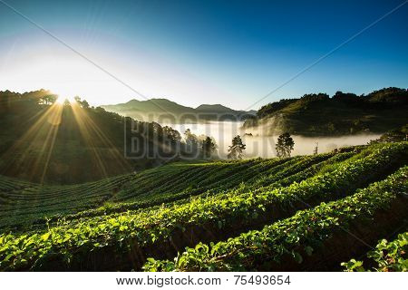 morning at beautiful strawberries farm at Chiangmai Thailand