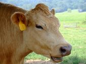 lovely cow with mouth open...looks like she is saying something! poster