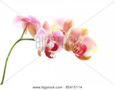 Beautiful gentle branch of pink romantic orchid flowers on white background