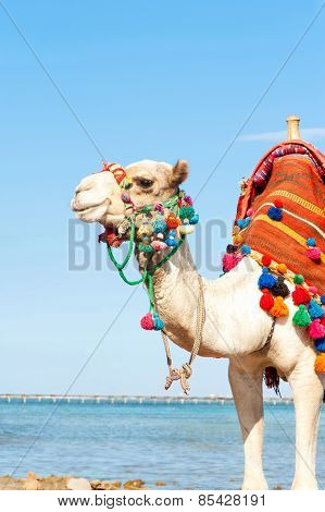 White Camel Standing On The Egyptian Beach. Summertime Outdoors.