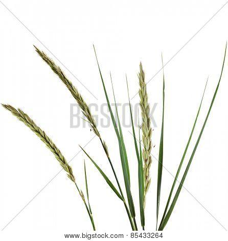 ELYMUS LEYMUS ARENARIUS Plant Grass Isolated on white background