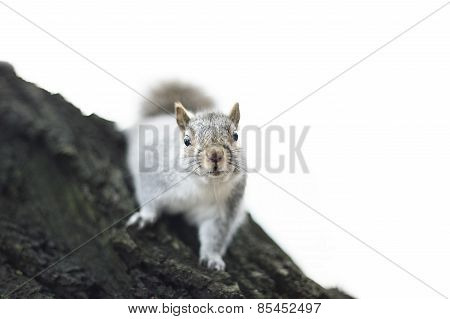Squirrel over a tree