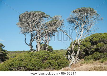 Coastal Ti-tree