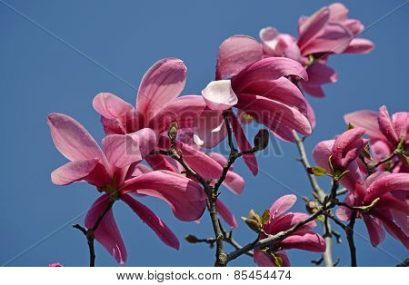 Beautiful Pink Magnolia Blossoms