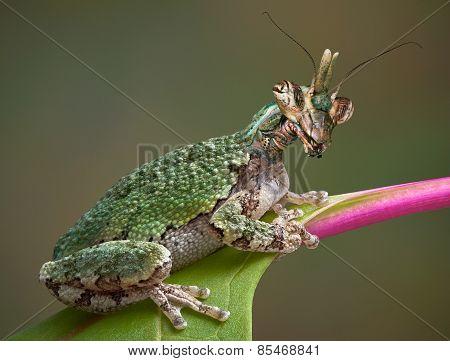 Mantis Frog On Leaf