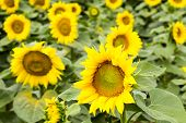 Large happy sunflower and sunflower oil crop on a sunny day in the Tarn-et-Garonne region of the South of France. poster
