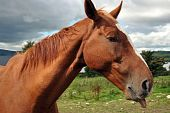 portrait of a chestnut horse with its tongue hanging out poster