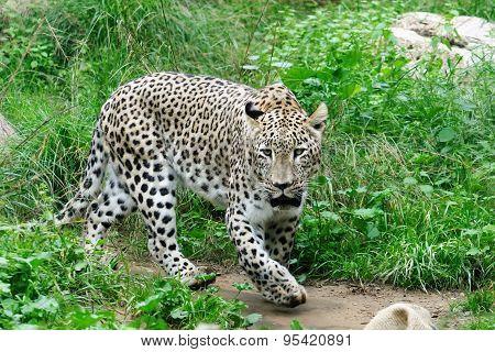 Snow leopard in zoo in summer