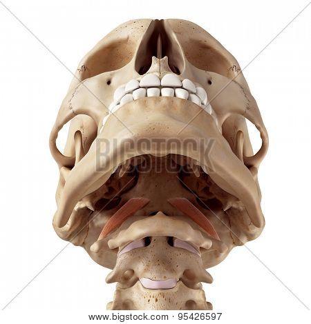 medical accurate illustration of the rectus capitis anterior