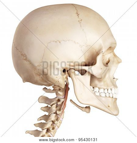 medical accurate illustration of the longus capitis