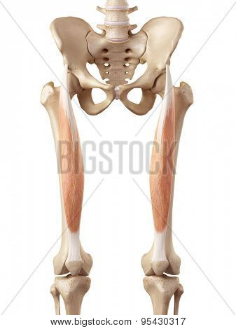medical accurate illustration of the rectus femoris