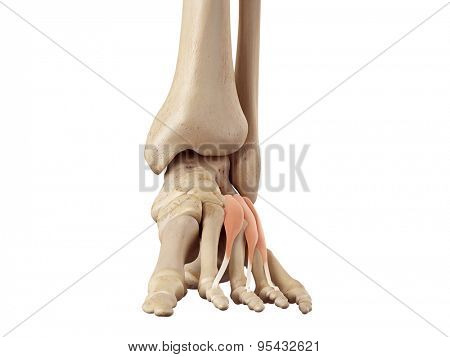 medical accurate illustration of the extensor digitorum brevis