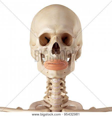 medical accurate illustration of the orbicularis oris