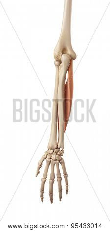 medical accurate illustration of the flexor digitorum superficialis
