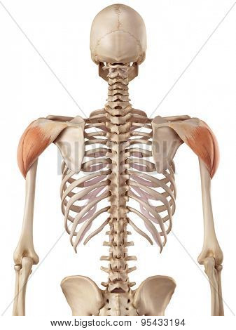 medical accurate illustration of the deltoid