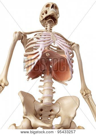 medical accurate illustration of the diaphragm