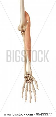 medical accurate illustration of the brachioradialis