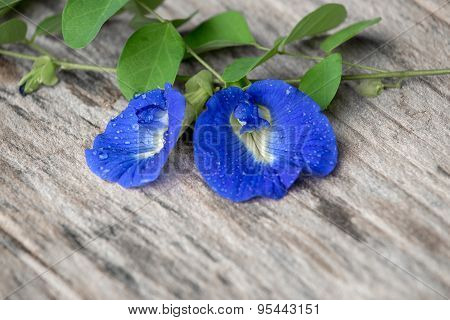 fresh butterfly pea ( Clitoria ternatea) flower on old wooden wood poster
