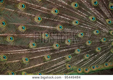 Plumage of the Indian peafowl (Pavo cristatus), also known as the blue peafowl. Wild life animal.
