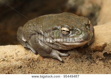 Colorado river toad (Incilius alvarius), also known as the Sonoran desert toad. Wild life animal.