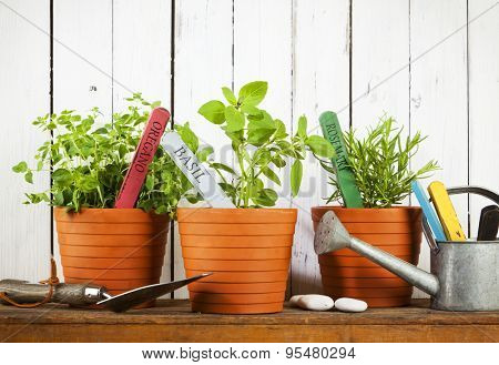 Oregano, Basil and Rosemary plants with name tags in flower pots, shovel and watering can on wooden shelf