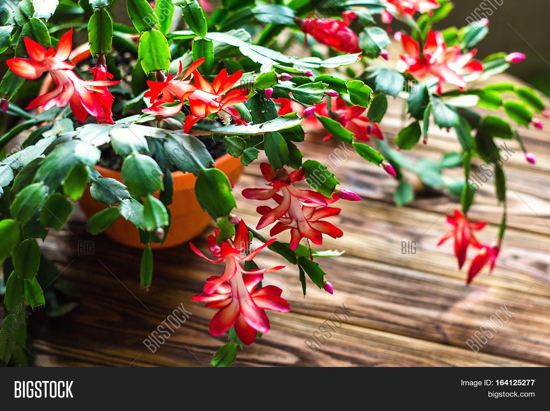 Christmas Cactus Image & Photo (Free Trial) | Bigstock on