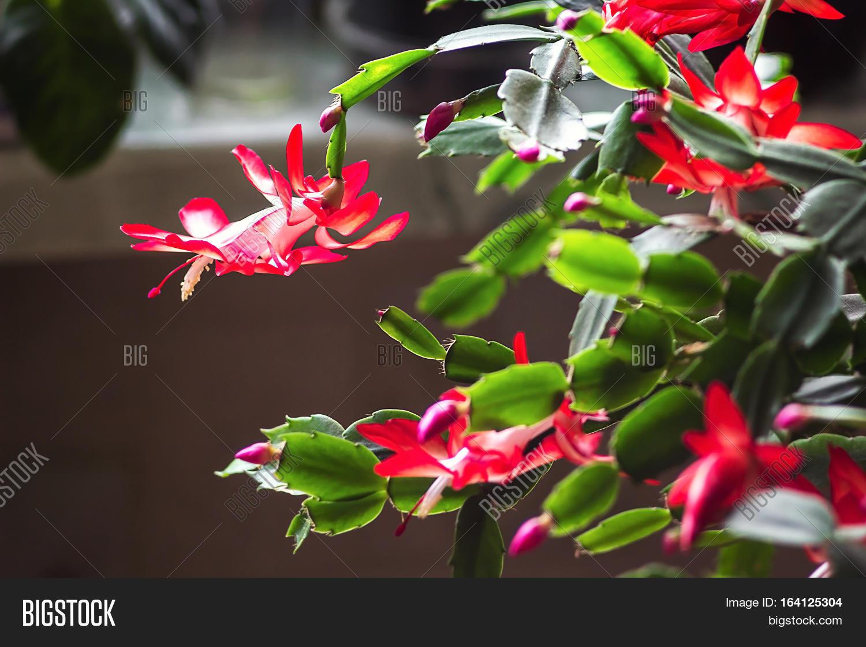 on zygocactus houseplant
