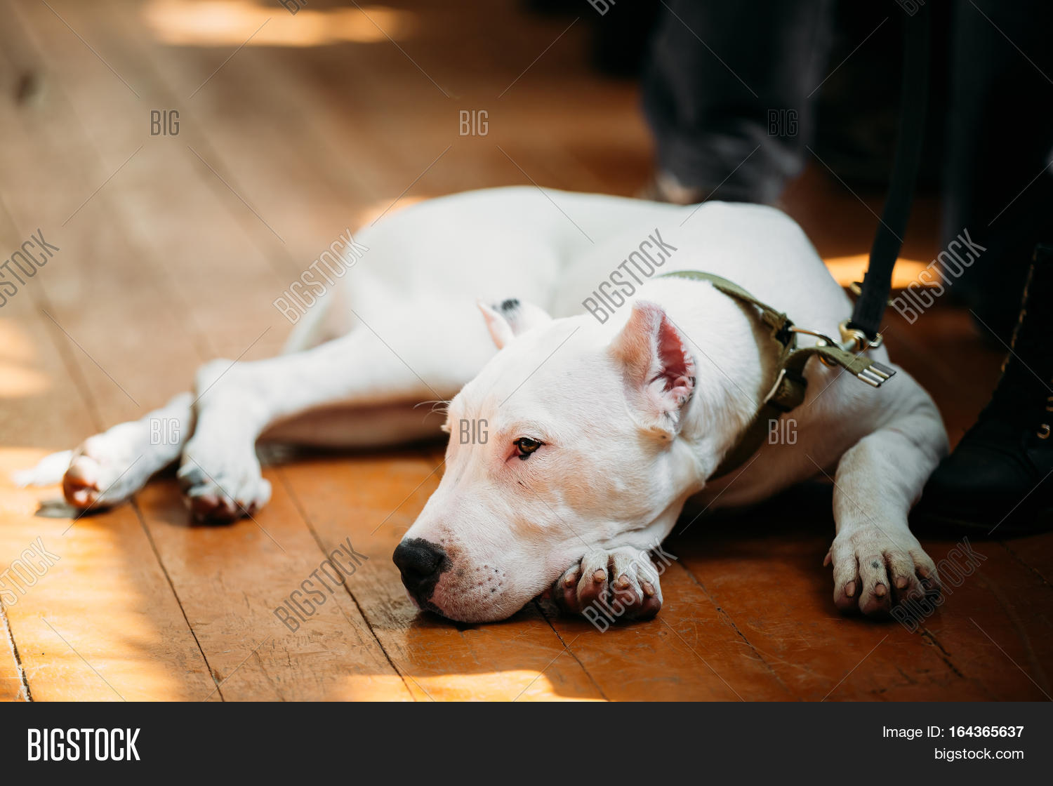 White Puppy Dog Dogo Image & Photo (Free Trial) | Bigstock