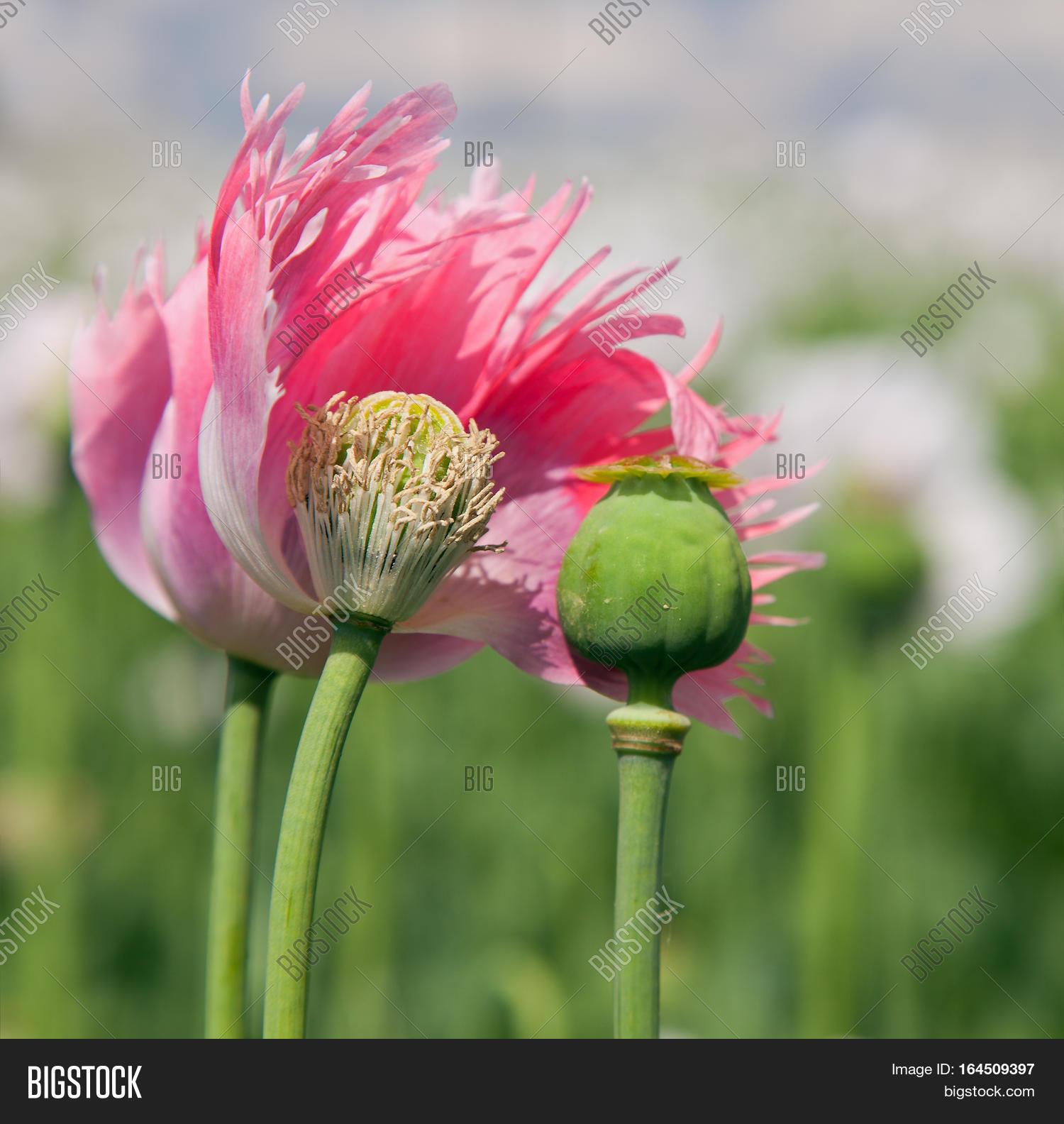 Detail Flowering Poppy Image Photo Free Trial Bigstock