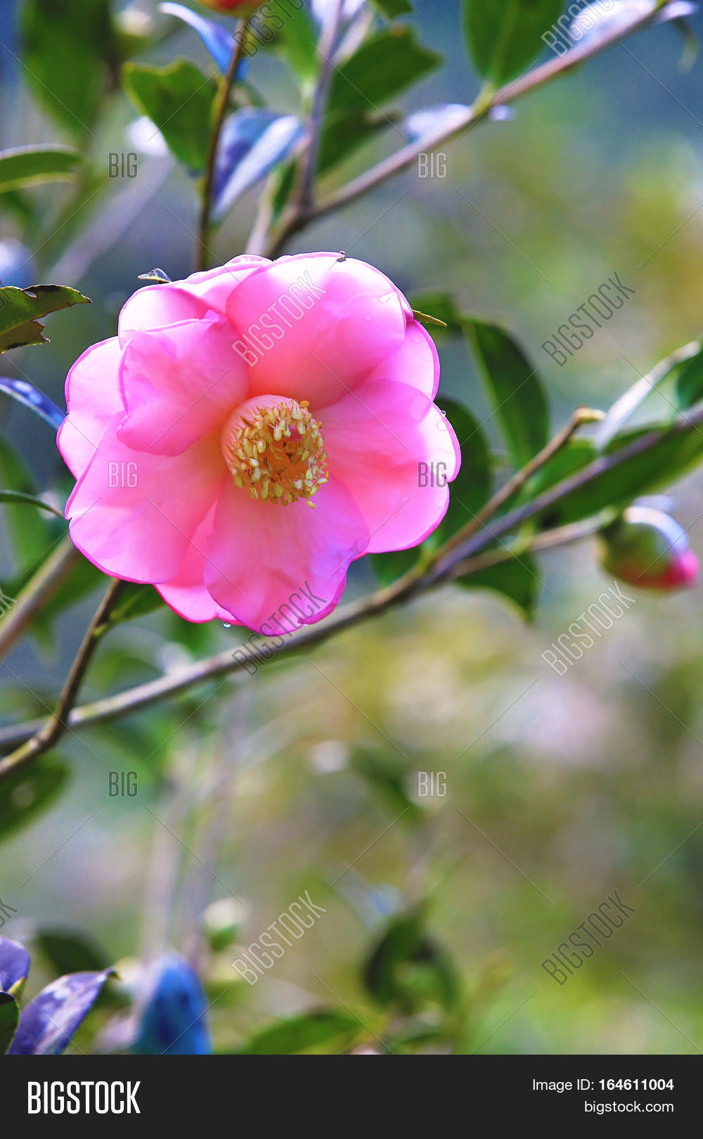 Pink Camellia Flower Image Photo Free Trial Bigstock