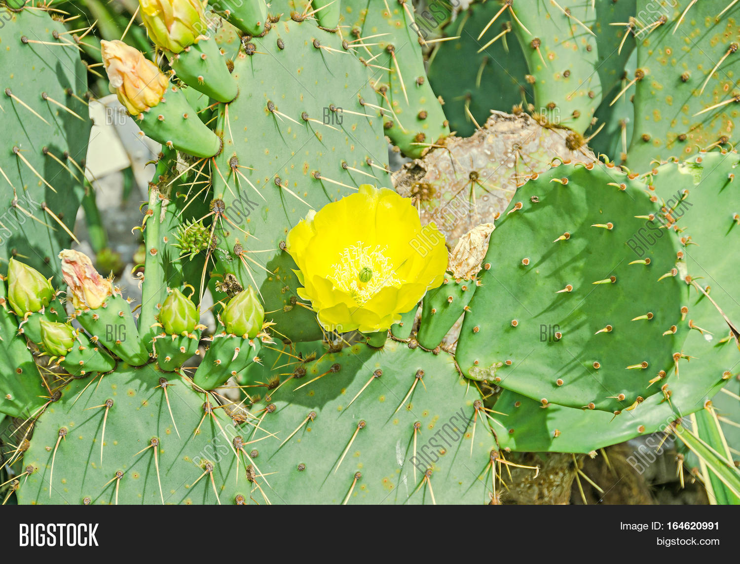 Yellow flower opuntia humifusa image photo bigstock yellow flower opuntia humifusa the devils tongue eastern prickly pear or indian fig mightylinksfo Images