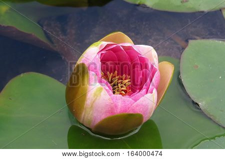 Pink water lily bud in a garden bud