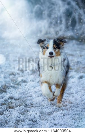 An Australian Shepherd runs toward the camera in the snowfall.