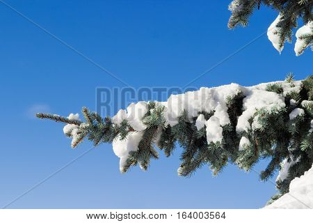 Branch of a blue spruce partly covered with snow closeup against the backdrop of a blue sky