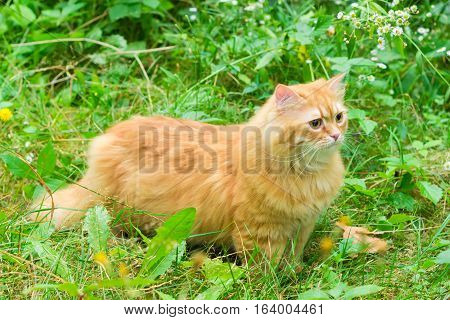 Carefully looking ginger cat in the woods among the tall grass and flowers
