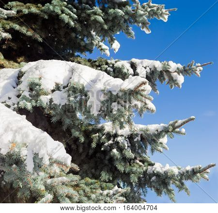 Fragment of a blue spruce with branches partly covered with snow closeup against the backdrop of a blue sky