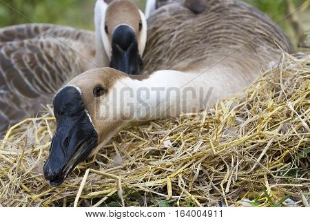 Two Goose hatch eggs in goose's nest