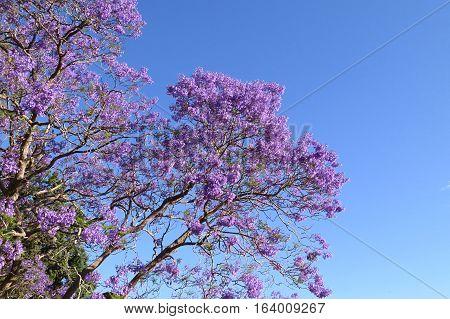 Purple Jacaranda tree in bloom against a blue Australian sky