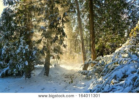 Magic winter morning in a forest with fir trees falling snow and sun rays illuminating the scene with warm light