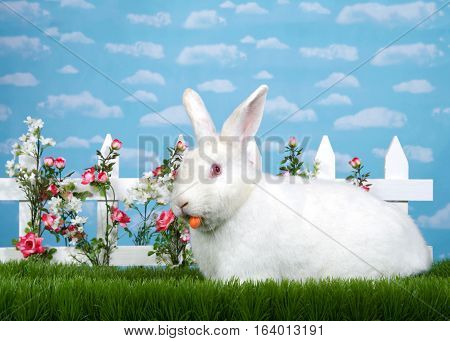 white albino bunny eating a carrot standing in tall grass next to white picket fence with pink roses. Blue background sky with clouds. Copy space.