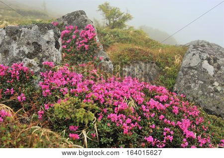 Altai. Altai Territory is beautiful. Mountains, plains, rivers - all great! Flowers in the Altai fascinated by its beauty. Bright, pink, they adorn the meadows of this region.