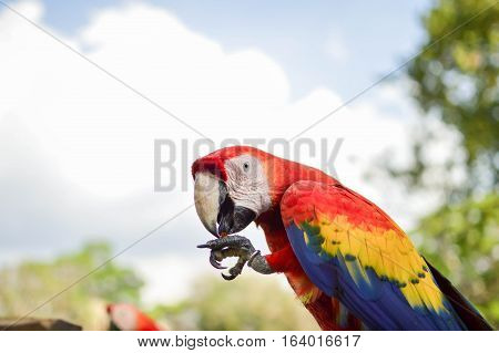 Macaw parrots come for feeding to the archaeological site of Copan Ruins in Western Honduras. Central America