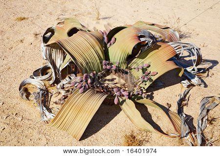 Amazing desert plant, living fossil Welwitschia Mirabilis in Namib Desert.
